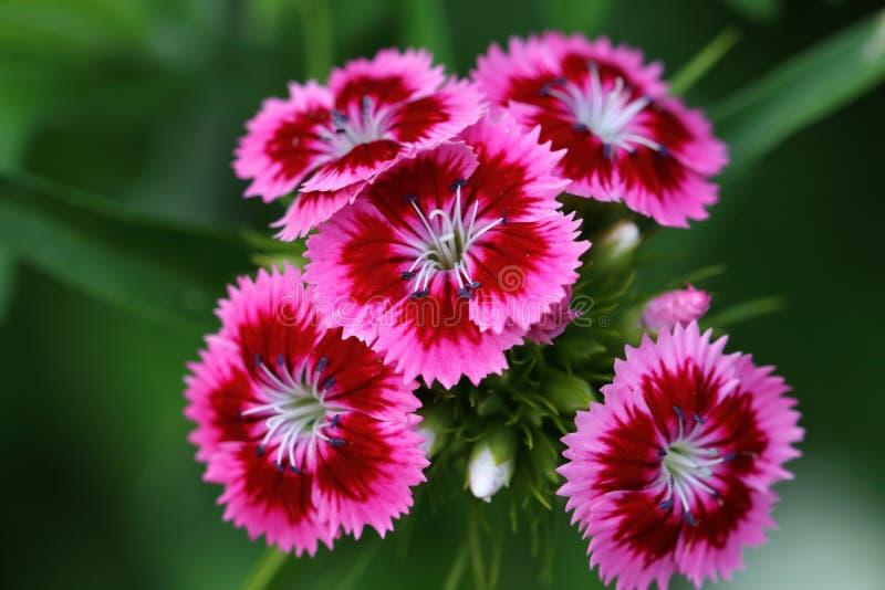 Dianthus is een bloem van de soort van de anjers royalty-vrije stock foto's