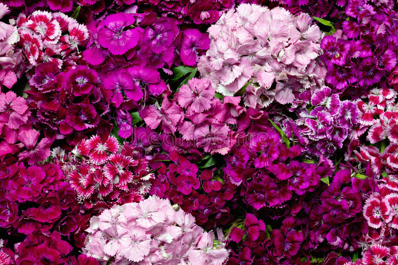Dianthus. royalty free stock photography