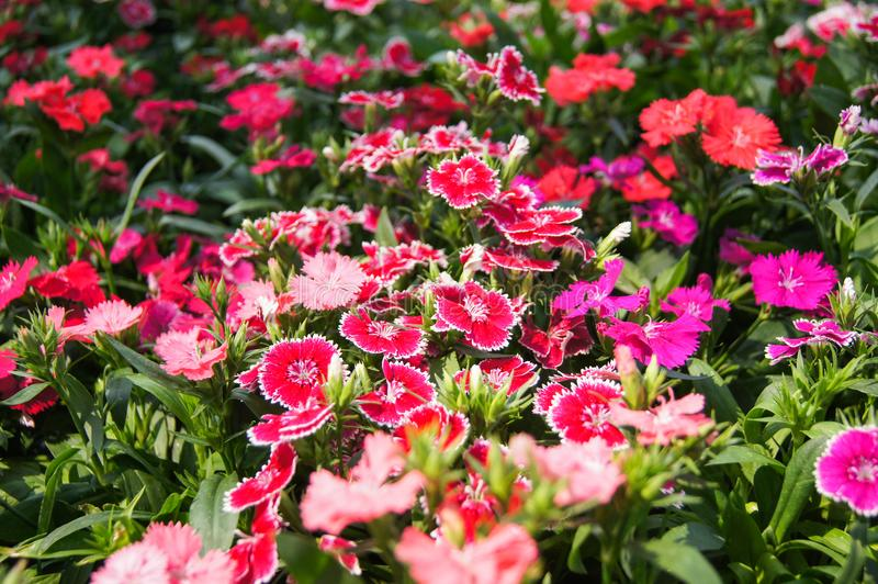 Dianthus Flower. Colorful beautiful dianthus Flower background in the garden stock photography