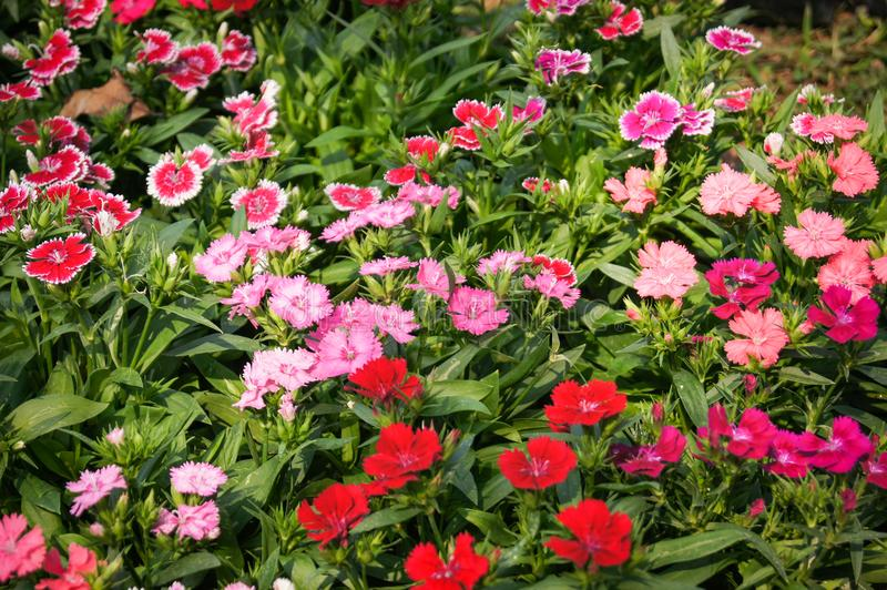 Dianthus Flower. Colorful beautiful dianthus Flower background in the garden stock image