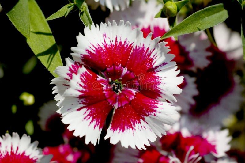 Download Dianthus Flower Detail Royalty Free Stock Image - Image: 4992586