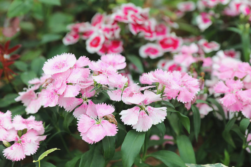 Dianthus flower at the flower bed. The Dianthus flower at the flower bed royalty free stock images