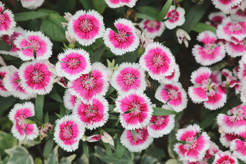 Dianthus flower at the flower bed. The Dianthus flower at the flower bed royalty free stock photos