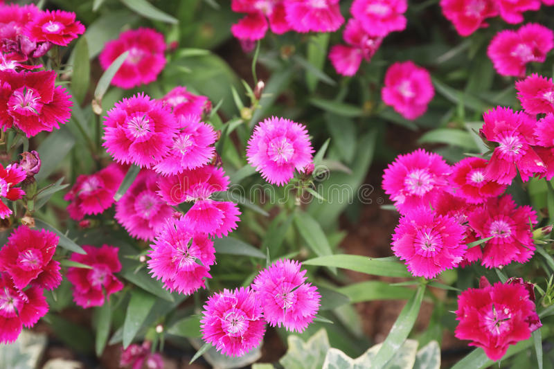 Dianthus flower at the flower bed. The Dianthus flower at the flower bed royalty free stock photo