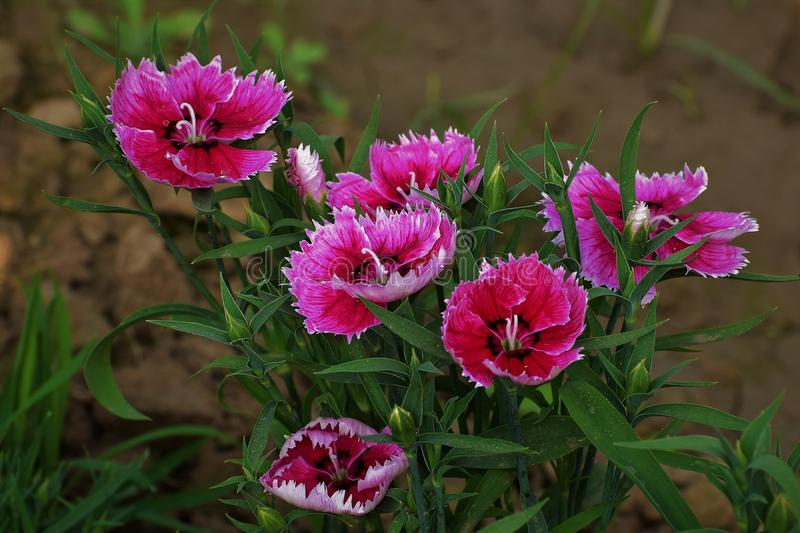 Dianthus flower. S in full bloom in garden during winter. These beautiful flowering plants are mainly native to Europe and Asia, and also known as carnation stock photos