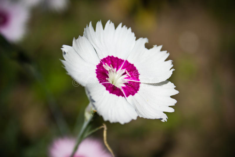 Dianthus flower. In the garden royalty free stock photography