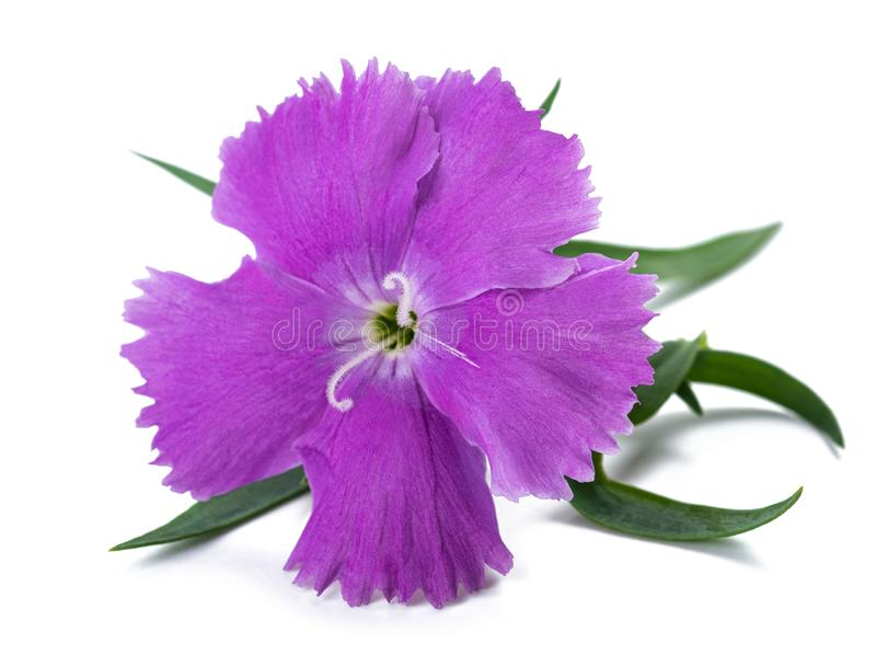 Dianthus flower. Head  on white background royalty free stock photography