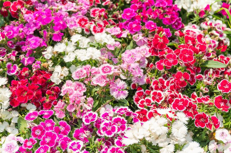 Dianthus flower or  Sweet William flowers. Dianthus flower Dianthus chinensis or Snowfire flower or Sweet William flower blooming natural field on the in garden stock photos