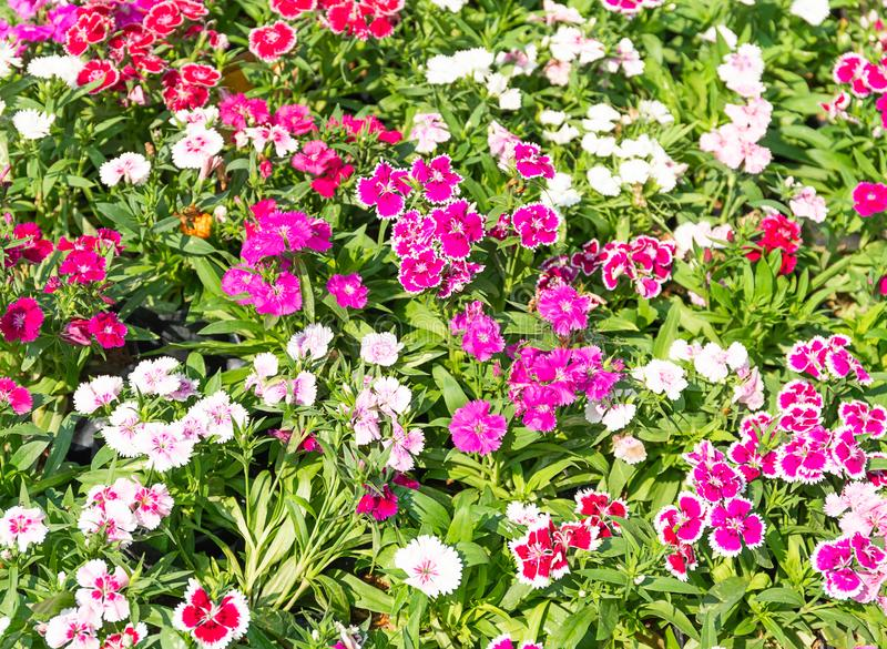 Dianthus flower or  Sweet William flowers. Dianthus flower Dianthus chinensis or Snowfire flower or Sweet William flower blooming natural field on the in garden royalty free stock photography