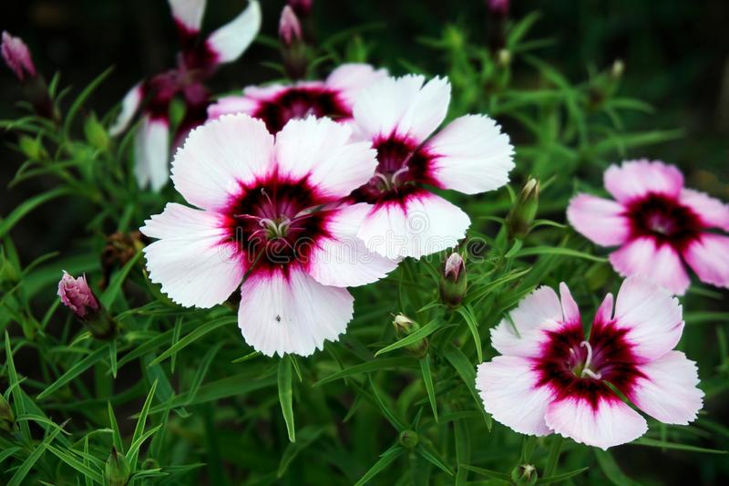 Dianthus flowers. Close up of dianthus flowers in bloom stock images