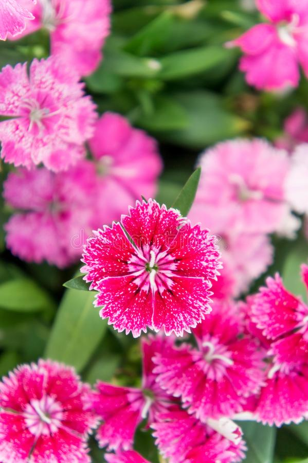 Dianthus flowers , colorful flowers daisy vivid flowers in the g. Arden royalty free stock photography
