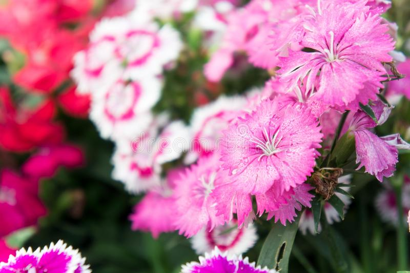 Dianthus flowers , colorful flowers daisy vivid flowers in the g. Arden royalty free stock image