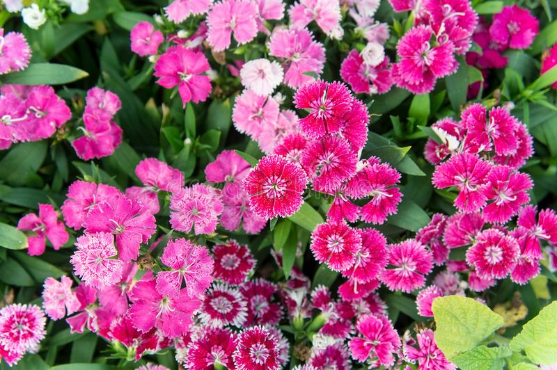 Dianthus flowers , colorful flowers daisy vivid flowers in the g. Arden royalty free stock photo