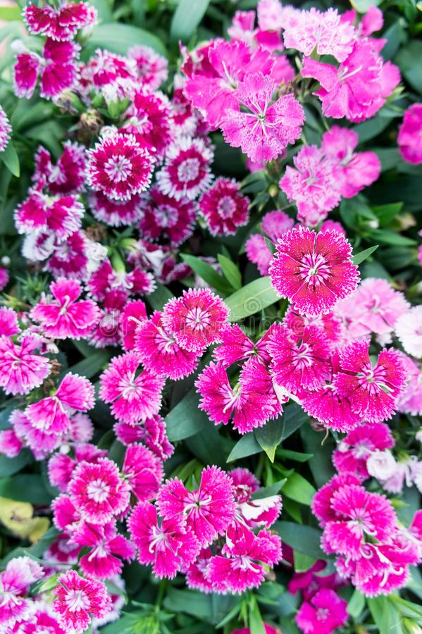 Dianthus flowers , colorful flowers daisy vivid flowers in the g. Arden stock images