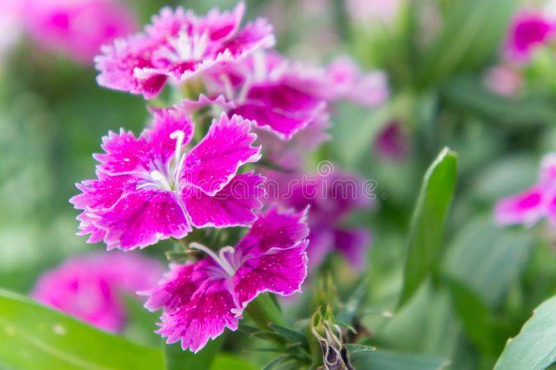 Dianthus flowers , colorful flowers daisy vivid flowers in the g. Arden stock photo