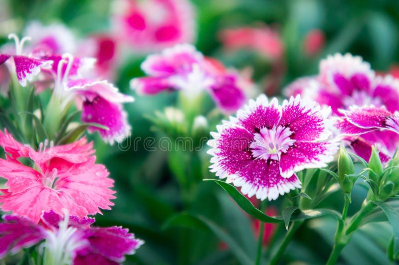 Dianthus flowers , daisy flowers in the garden.  stock photo