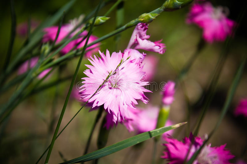 Dianthus flowers. In the field royalty free stock images