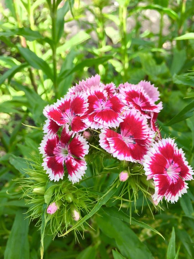 Dianthus stock image