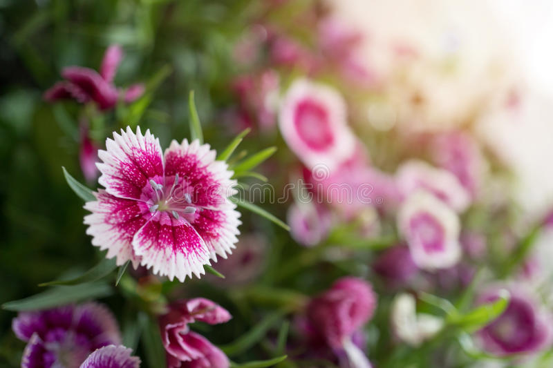 Dianthus flowers in the garden.  royalty free stock images