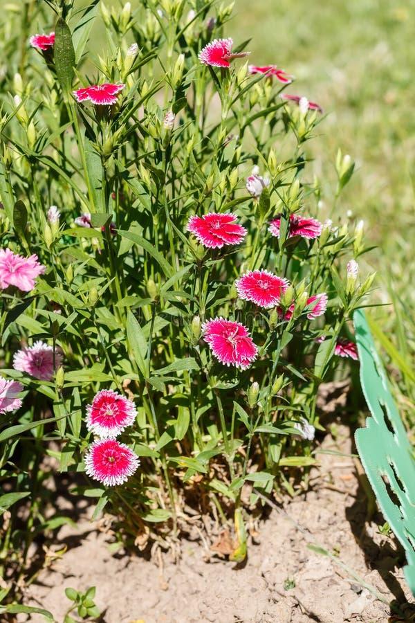 Download Dianthus (garofano) immagine stock. Immagine di aperto - 56879087