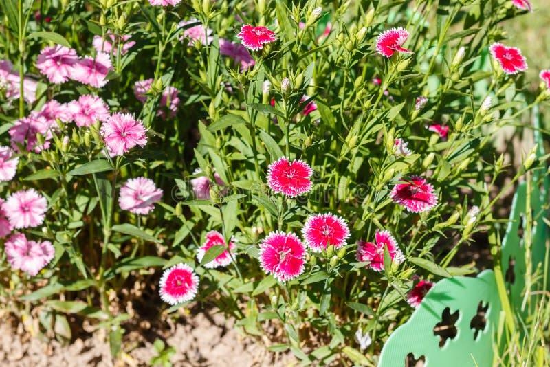 Download Dianthus (garofano) fotografia stock. Immagine di lotto - 56880600