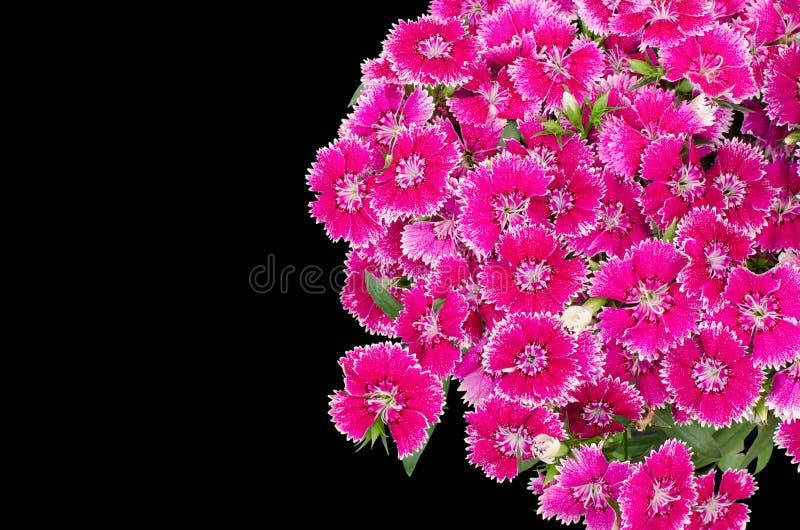 Dianthus. Isolated on black background stock photo