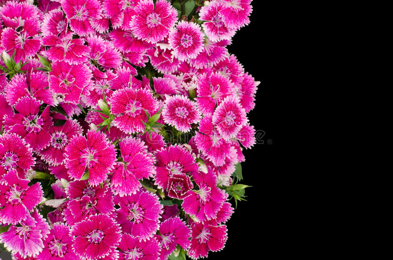 Dianthus. Isolated on black background royalty free stock images