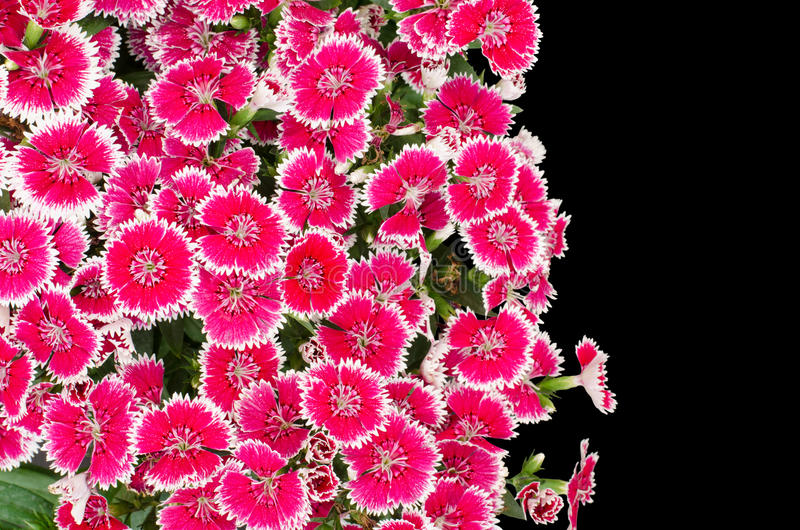 Dianthus. Isolated on black background royalty free stock photos