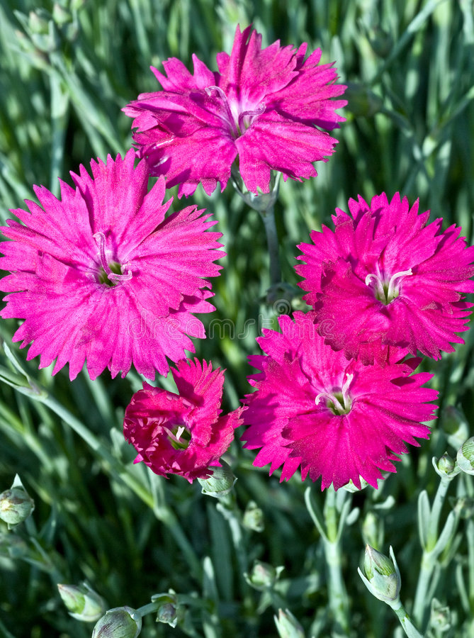 Download Spring Dianthus stock photo. Image of green, nature, blooming - 7054220