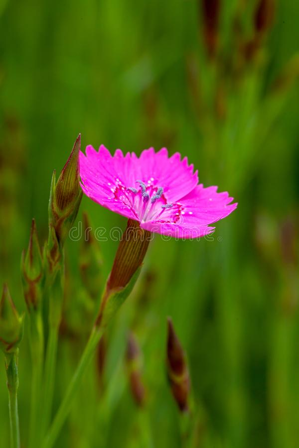 Dianthus pink flower open stock image