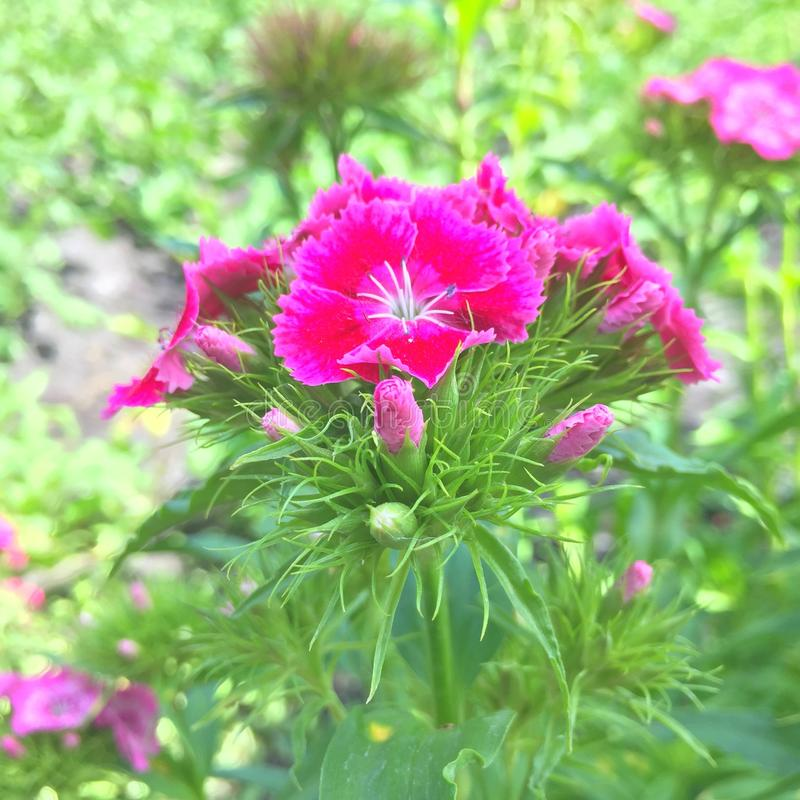 Dianthus. Pink dianthus flowers in front of a green background royalty free stock images