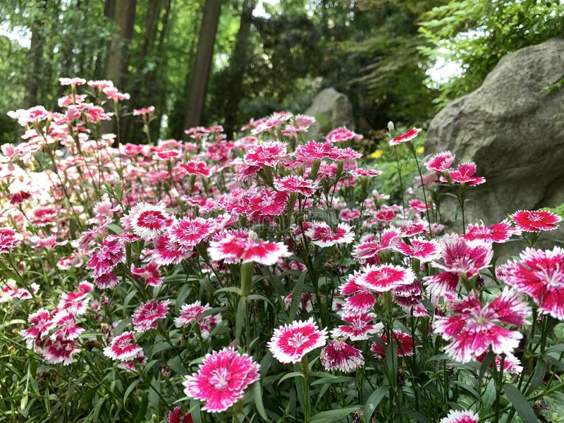 Dianthus pink kisses flower. In a green garden and stone background with landscape stock photo
