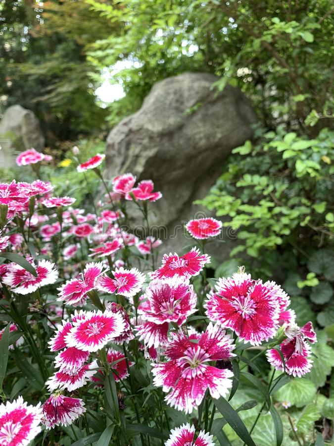 Dianthus pink kisses flower. In a green garden and stone background with landscape royalty free stock images