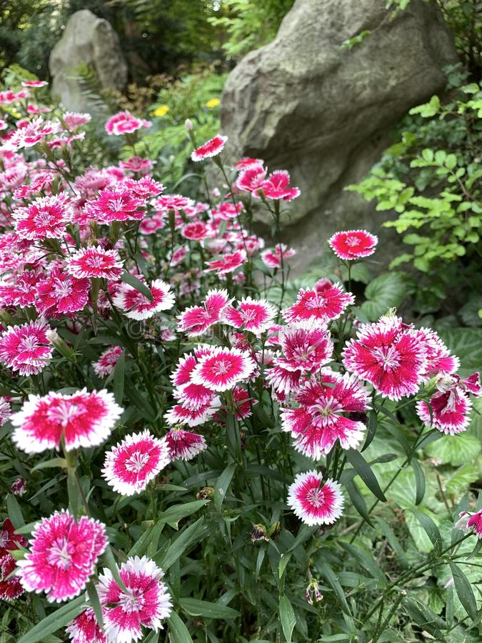 Dianthus pink kisses flower. In a green garden and stone background with landscape stock images