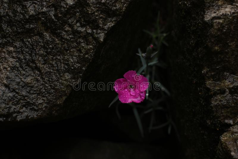 Dianthus plumarius, pink carnation. Small pink carnation flowers - Caryophyllaceae Dianthus plumarius in the hole between the stones stock photos