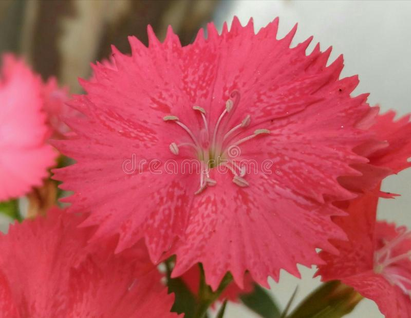 Dianthus Red. Garden flowering plant - Scientific name - Dianthus balbisii. Family - Caryophyllaceae. Location - Assam, India royalty free stock photos
