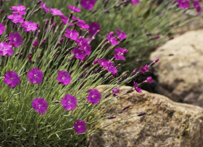 Dianthus on the rocks royalty free stock images