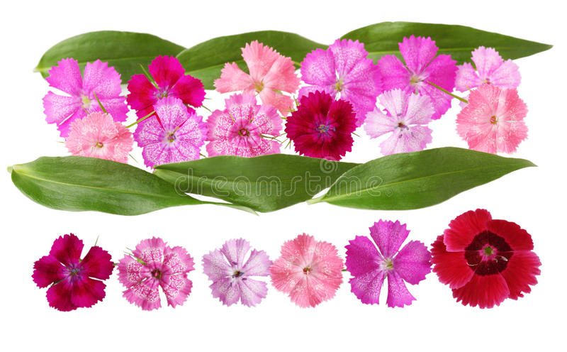 Dianthus Set. Set of dianthus flowers isolated on white stock images