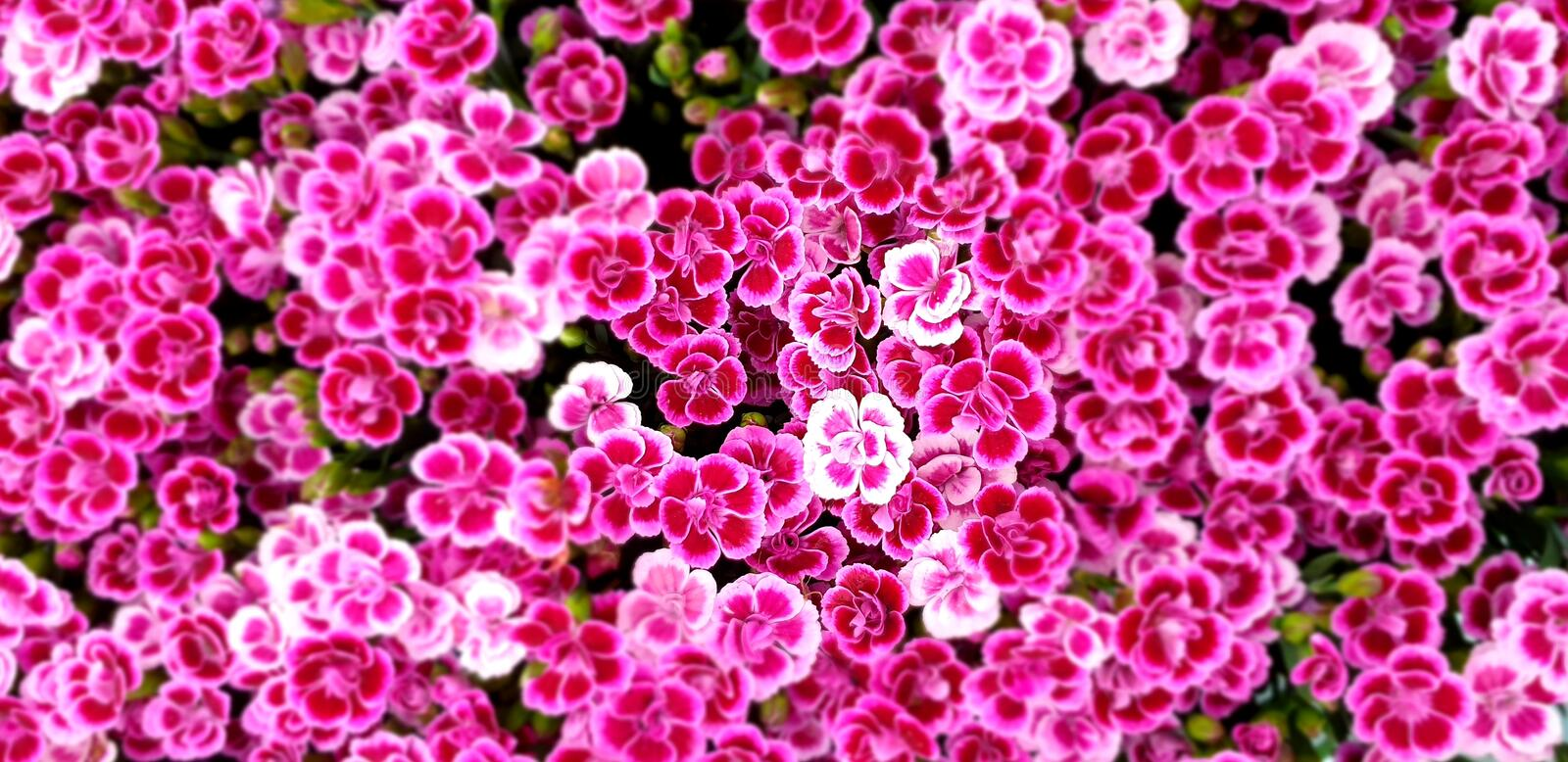 Dianthus small pink purple flowery flower flowers background stock images