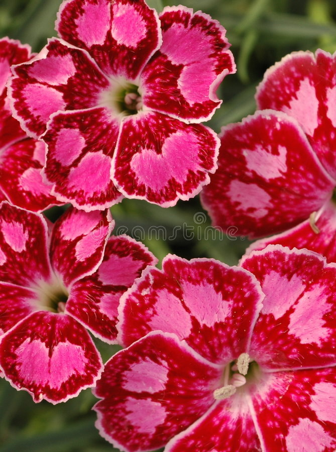 Free Dianthus Spotty Royalty Free Stock Images - 240089