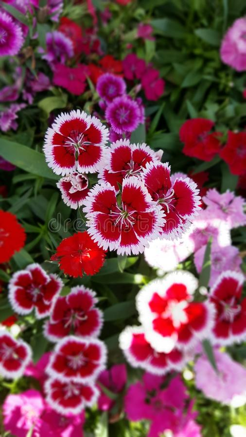 Dianthus Star Mix royalty free stock image