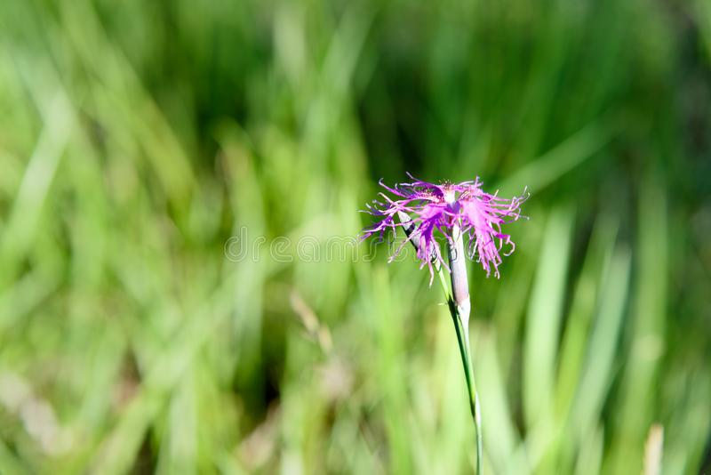 Dianthus superbus flower on Altai. Russia royalty free stock photography