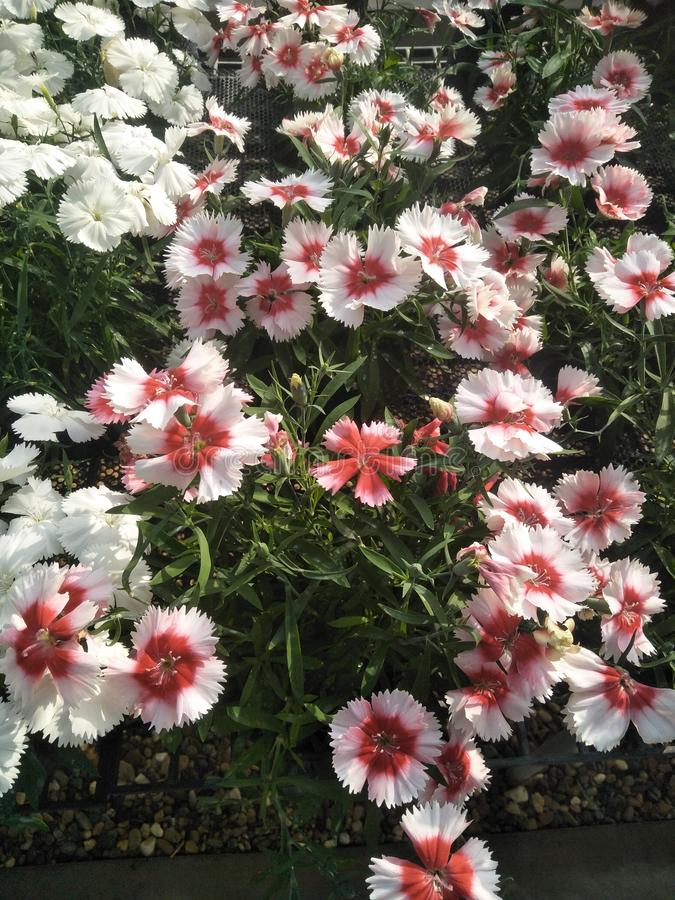Dianthus. Whith and red Dianthus on field royalty free stock photo