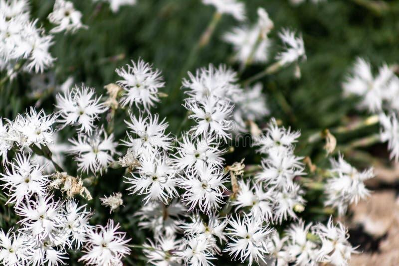 Dianthusarenarius eller vita blommor för sandnejlika med gräsplan royaltyfria bilder