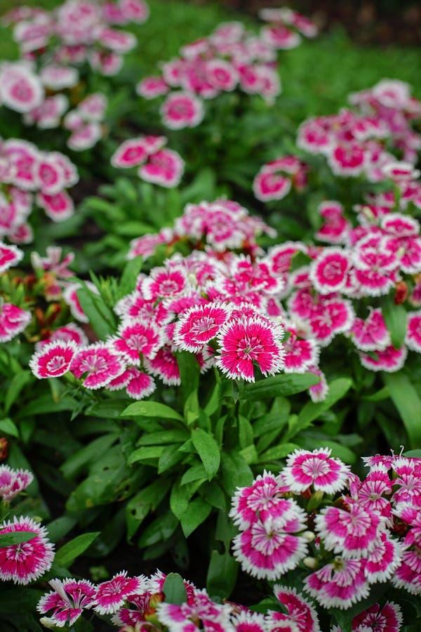 Dianthusbarbatus eller söta William Flower i trädgården arkivbilder