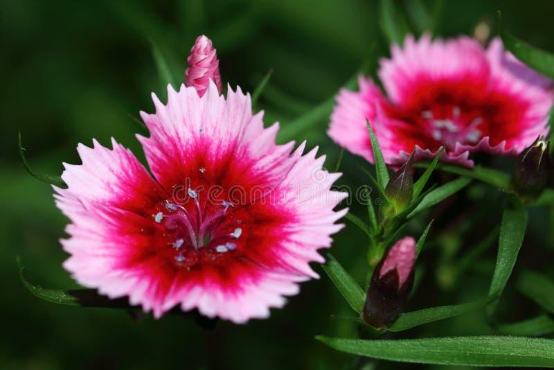 Dianthusbarbatus is verwant met de anjer en is zeer geschikt als grensinstallatie royalty-vrije stock fotografie