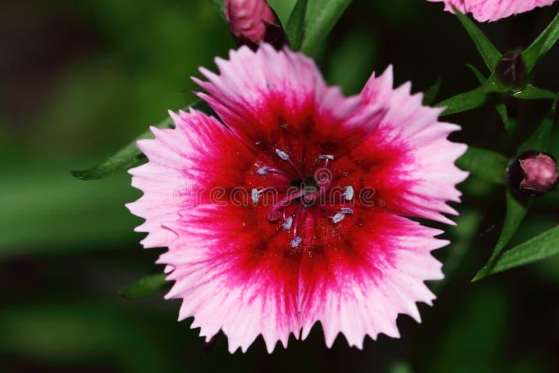 Dianthusbarbatus is verwant met de anjer en zij zijn beschikbaar in diverse kleuren stock foto