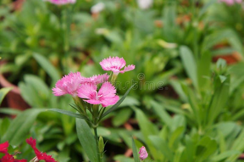 Dianthusblume gepflanzt in einem kleinen Topf in der Betriebskindertagesstätte vektor abbildung