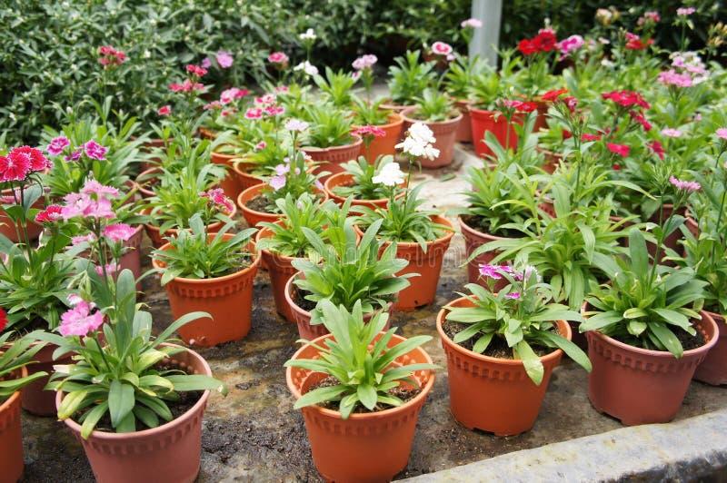 Dianthusblume gepflanzt in einem kleinen Topf in der Betriebskindertagesstätte stock abbildung