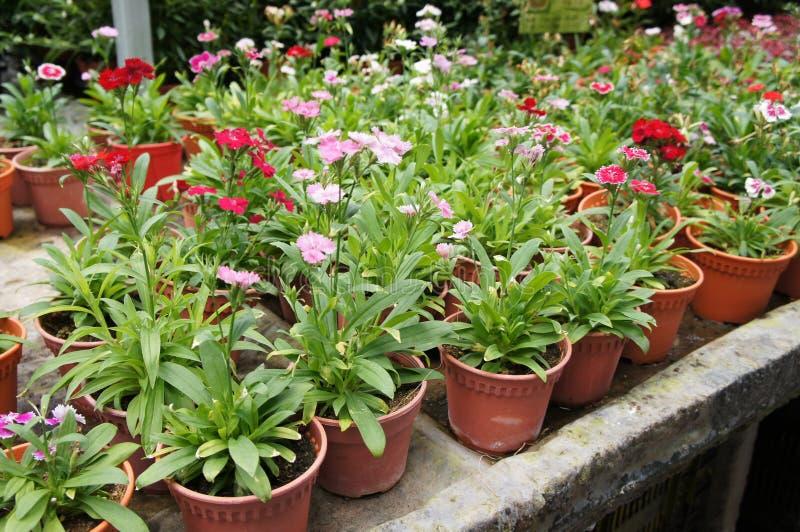 Dianthusblume gepflanzt in einem kleinen Topf in der Betriebskindertagesstätte lizenzfreie abbildung